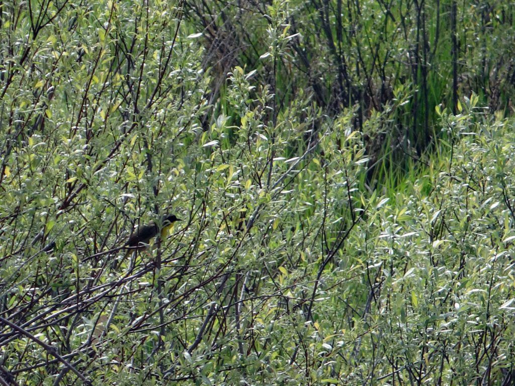 A common yellowthroat sings from a willow shrub.