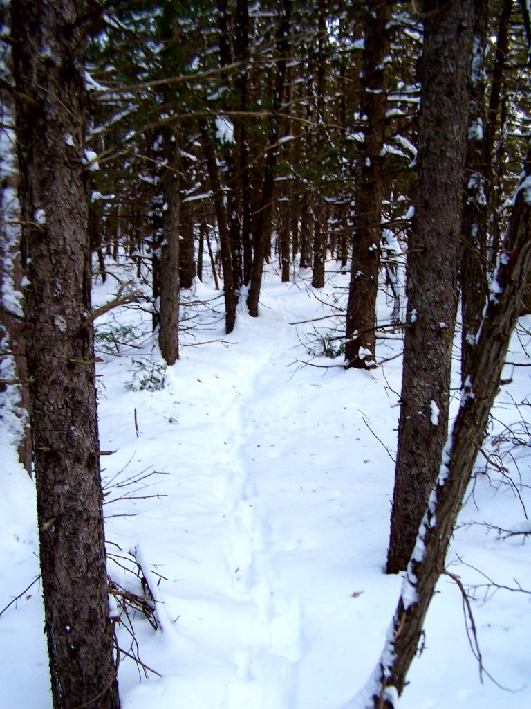 A line of deer tracks runs back into a stand of small conifers.
