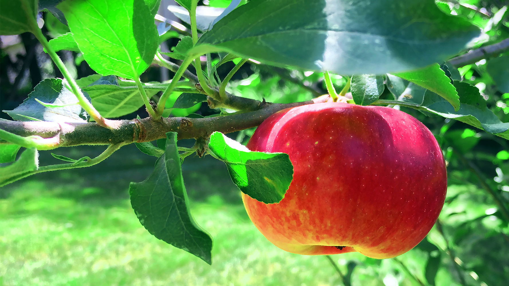 An apple hanging from a tree in the sunlight