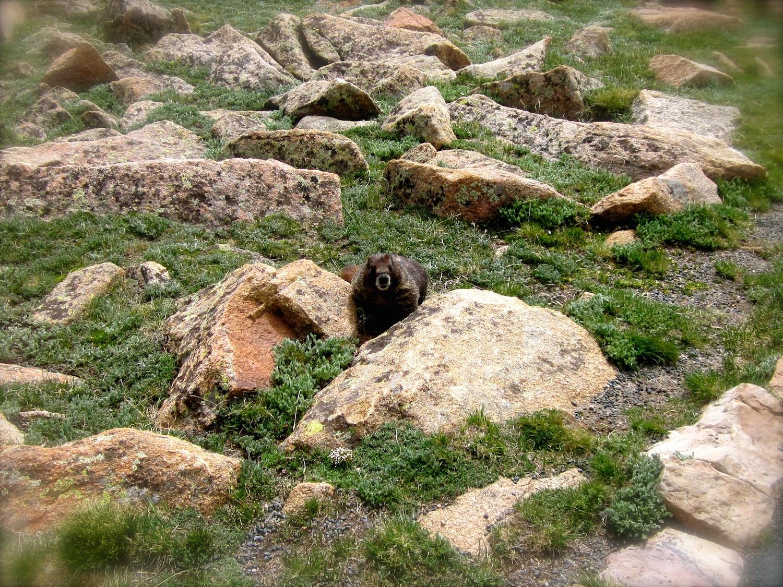 Meet Mr. Yellow-bellied Marmot who enjoys the tundra more than I do.