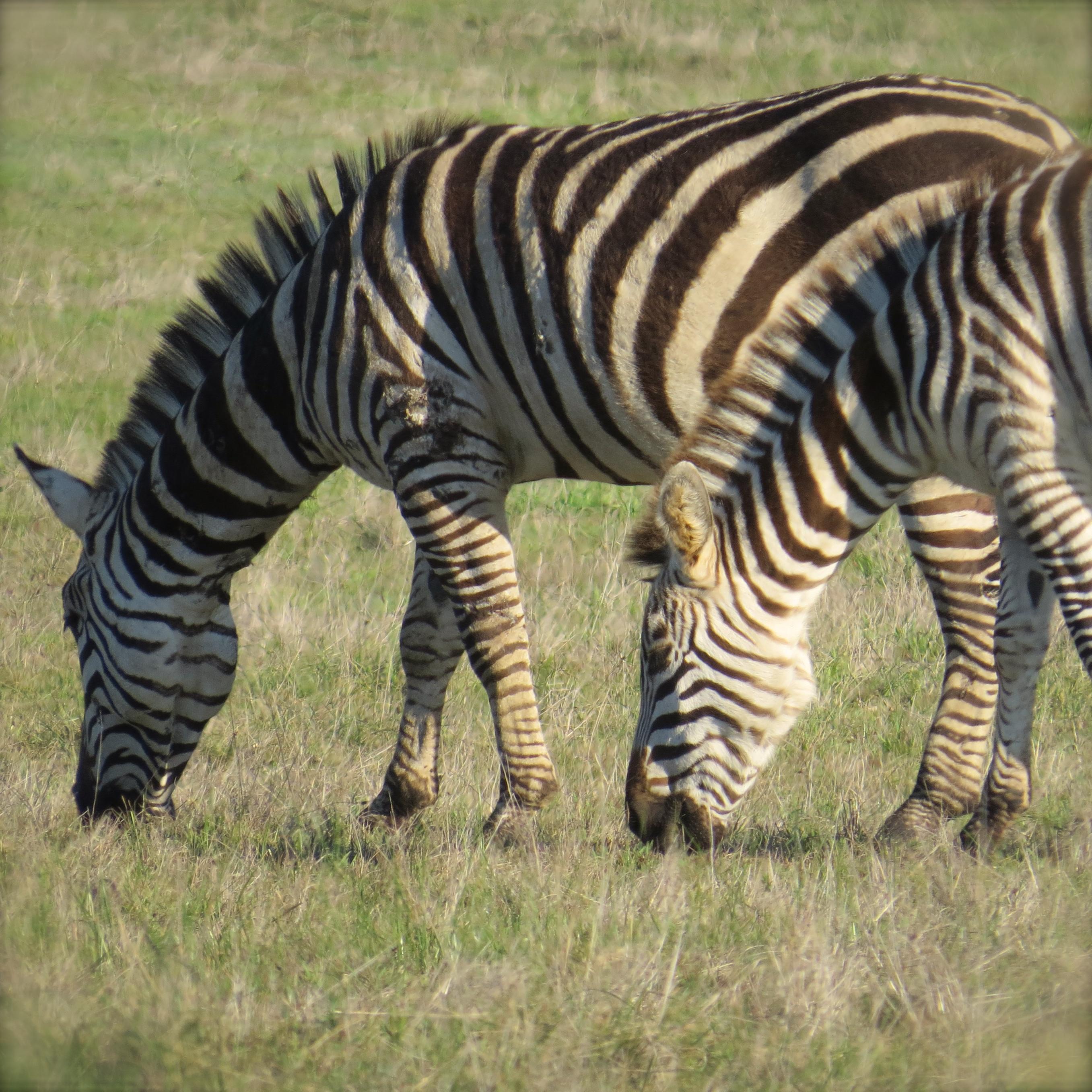 Yep, zebras.