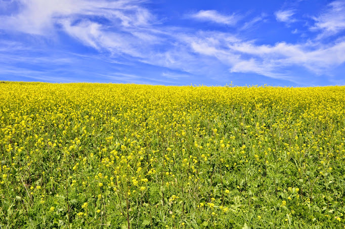 Wild mustard was in full bloom and gorgeously displayed on the island's interior hills. Susan Lester Photo