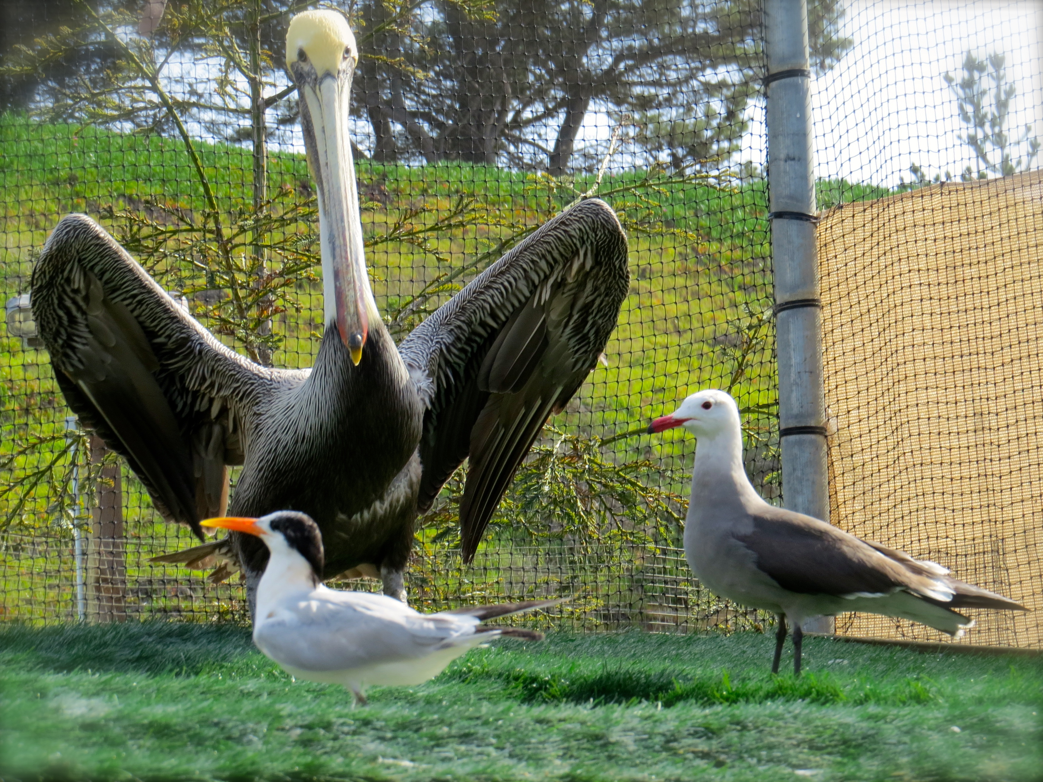 Last week I visited the Pacific Wildlife Center in Morro Bay, a site opened in 2007, all donor-financed and opened 365 days a year to all injured wildlife except  grown bears. Last year they cared for 2014 reptiles, mammals and birds. Recovering here are a northern California brown pelican, Heermann's Gull and a Royal Tern.