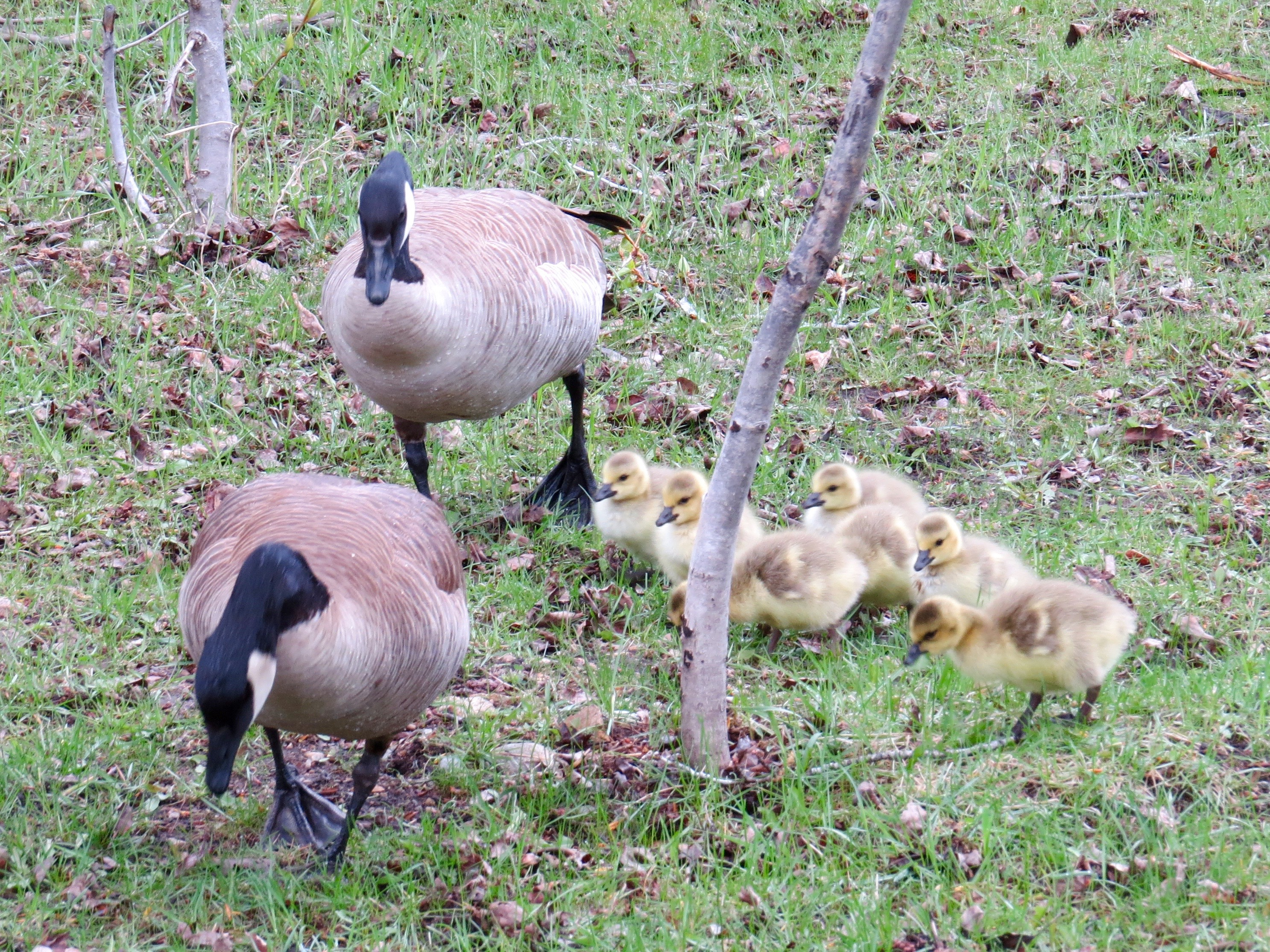 Mom, Dad, and 7 goslings.