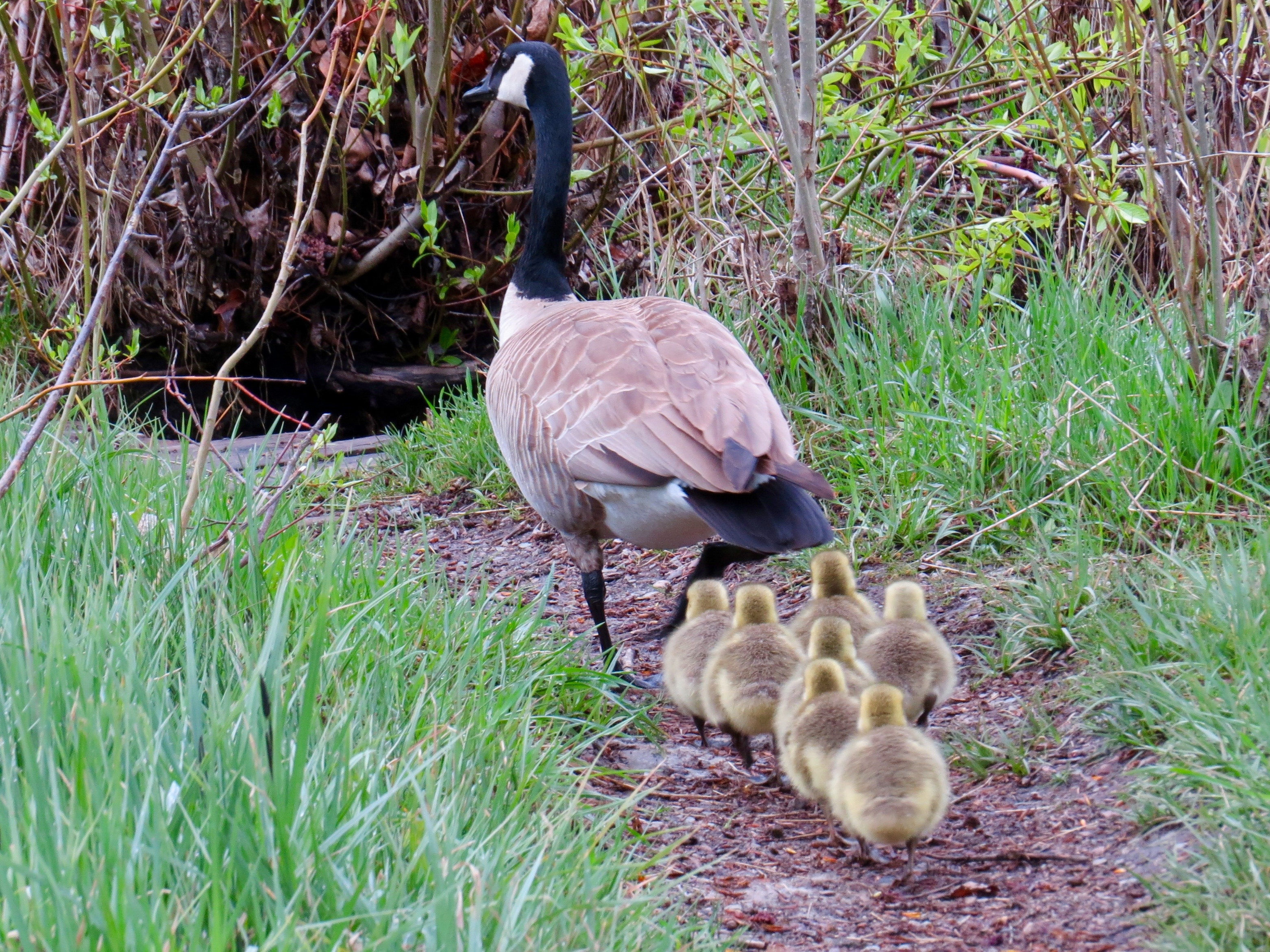 It's Springtime in the Rockies and time for babies. Mama Canada Goose is taking loving care of her 7 little goslings at the Aspen Center for Environmental Studies.