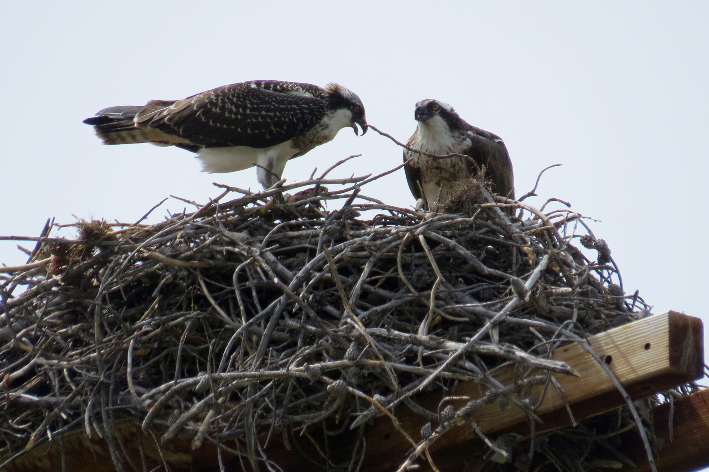 THESE JUVENILE OSPREYS WERE CHATTERING LOUDLY. ALTHOUGH WE THINK THEY HAVE FLEDGED AND CAN FLY, THEY CLEARLY DID NOT WANT TO TAKE OFF. MOM AND DAD ARE GONE, WE THINK.