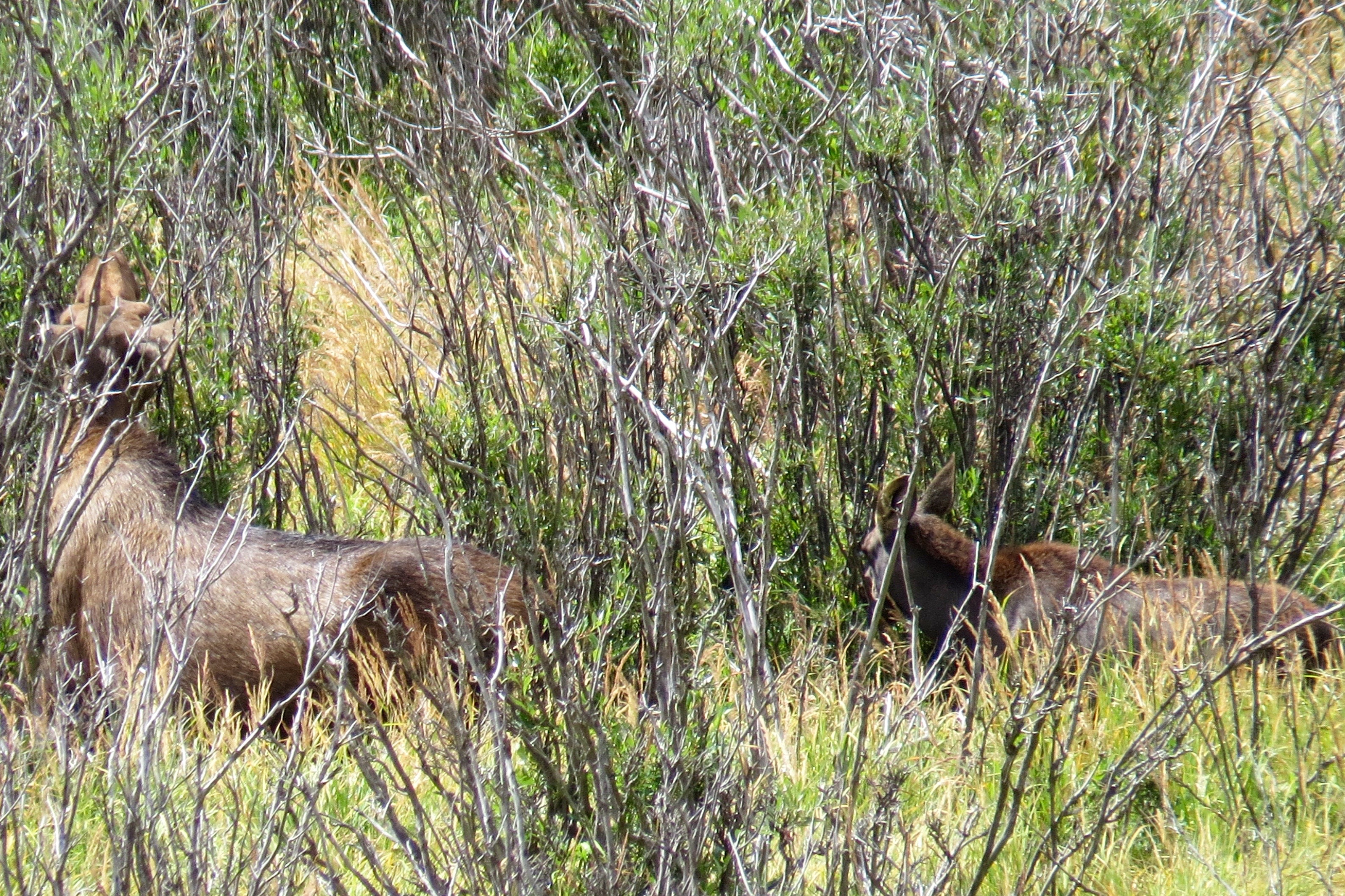 IN THE WILLOWS AT ROCKY MOUNTAIN NATIONAL PARK, MAMA AND BABY MOOSE