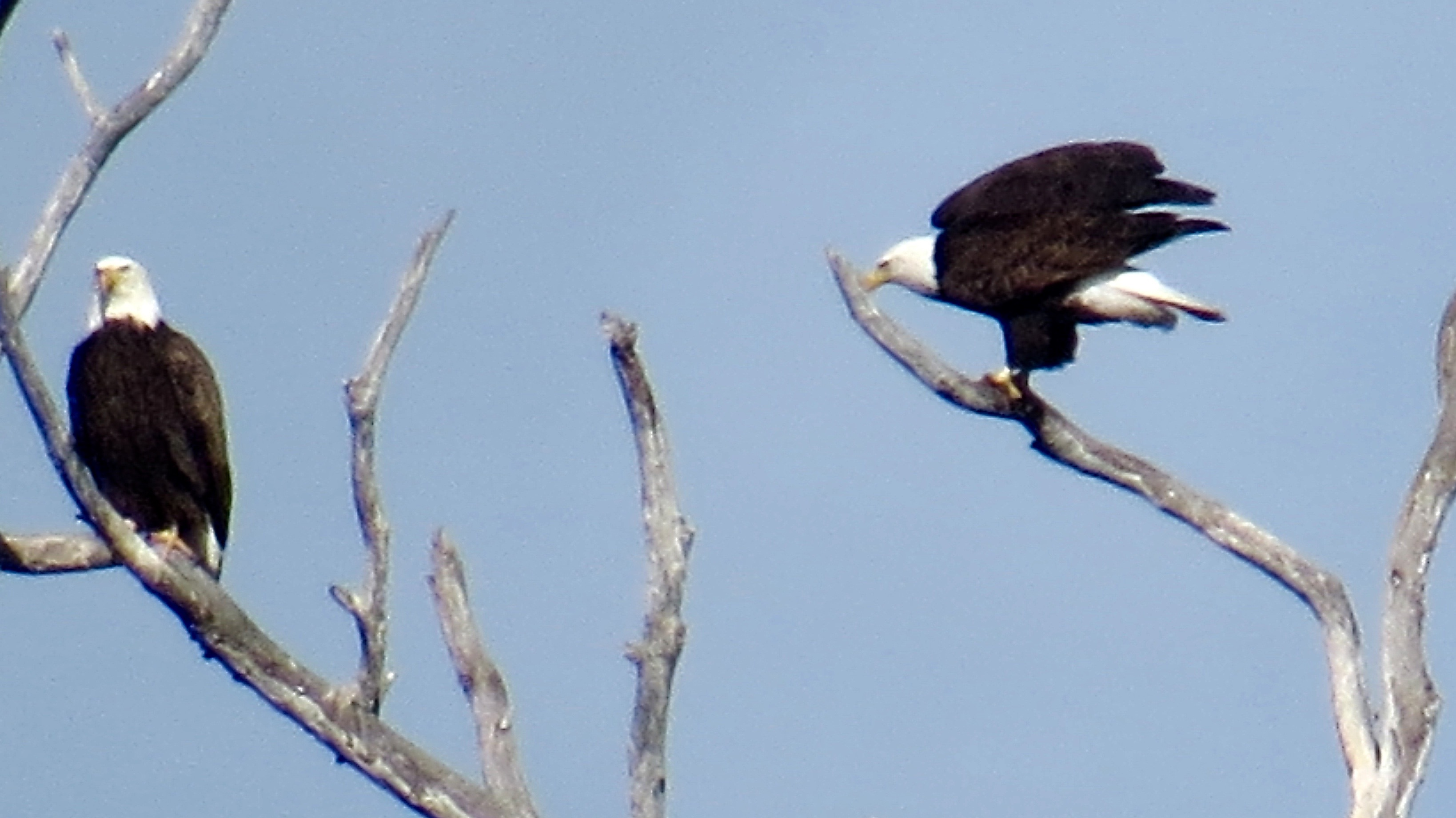 It's always thrilling to spot  Bald Eagles.  Morro Bay  Marina, 1/15/16