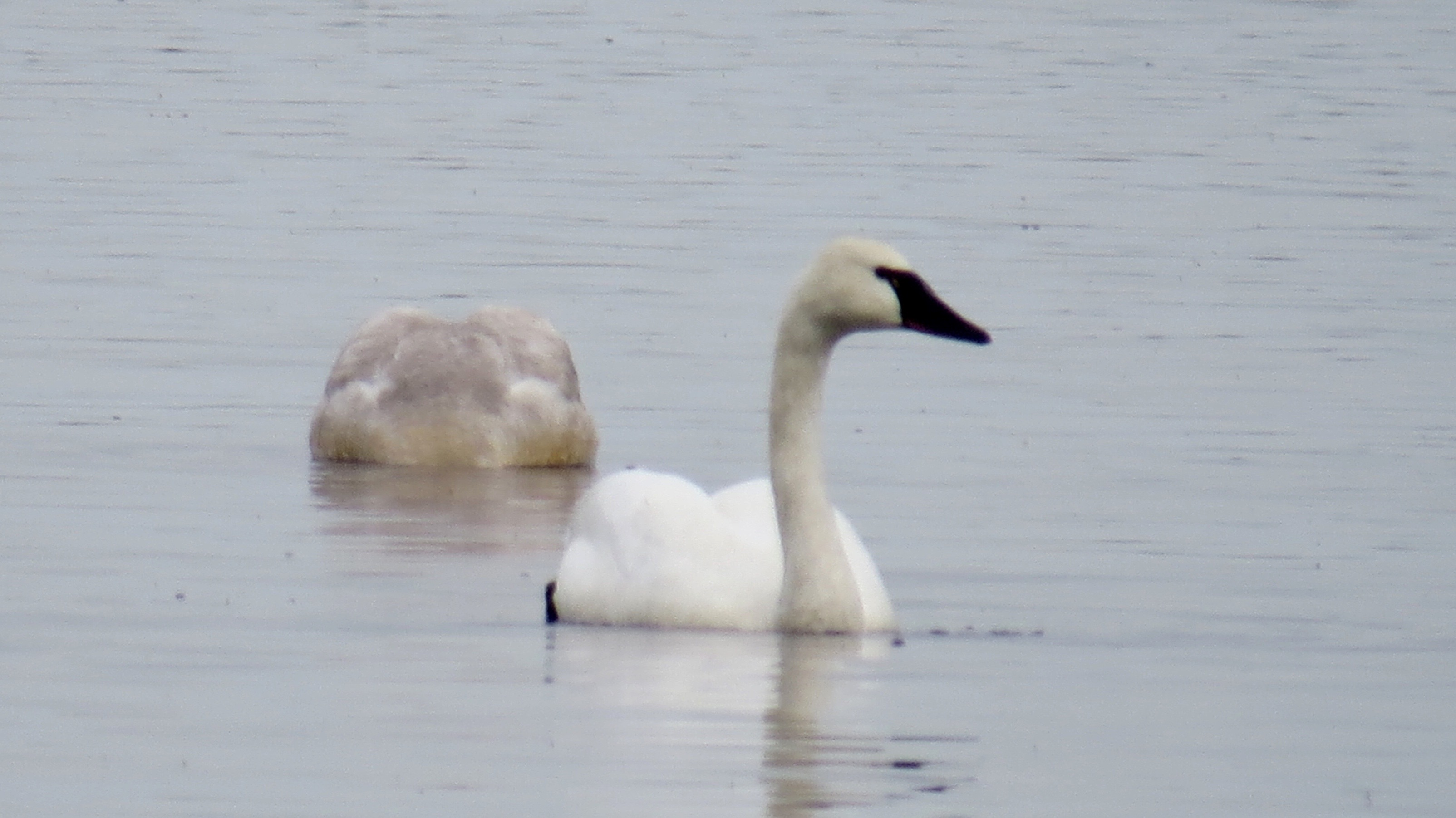 """A Trumpeter Swan. The """"rock"""" in the background is a juvenile swan eating."""