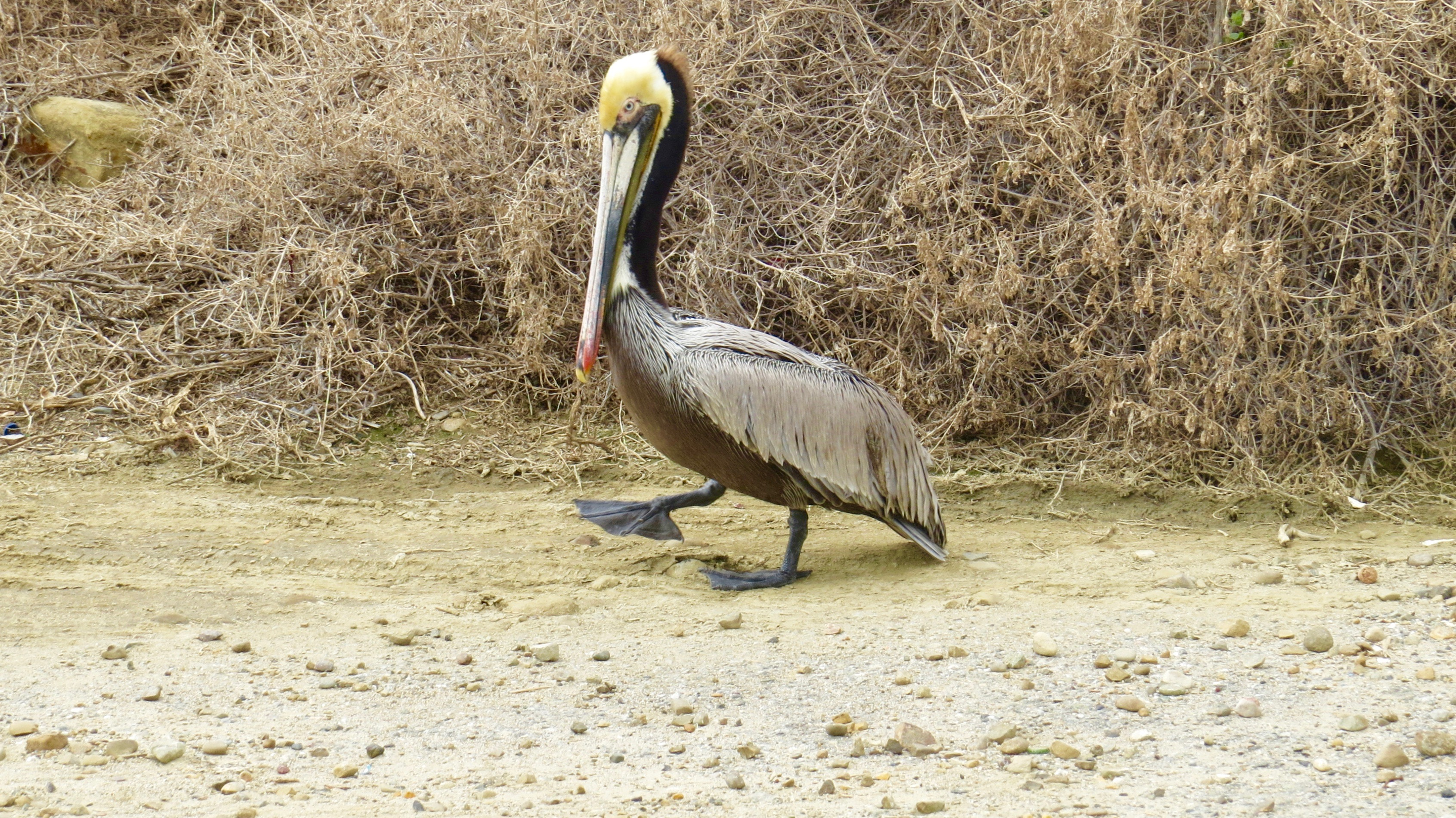 Strolling near the Pacific Coast Highway, Carpinteria. Brown Pelican, 2016.
