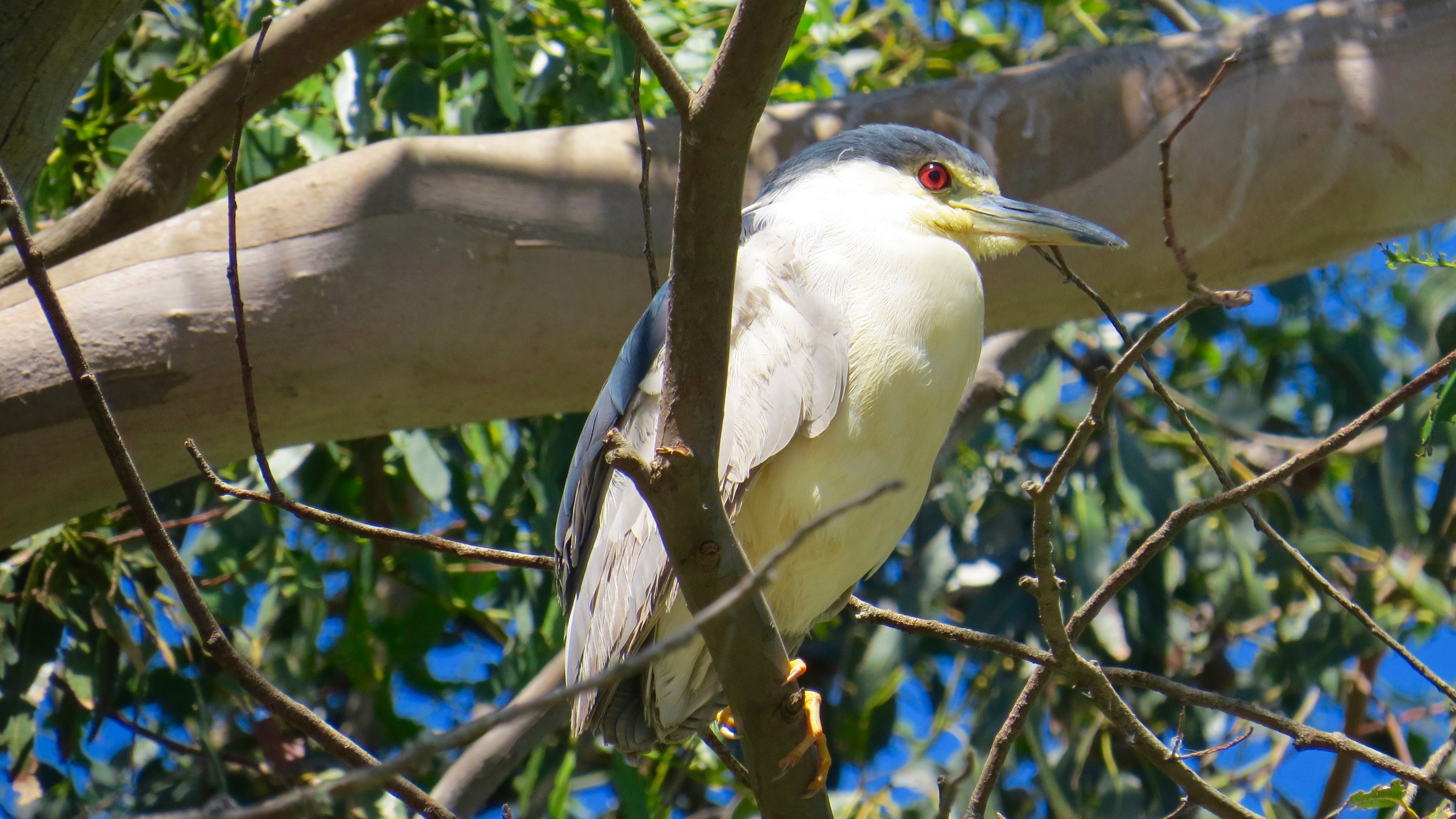 The Black-crowned Night Heron hangs out during the day and forages at night.