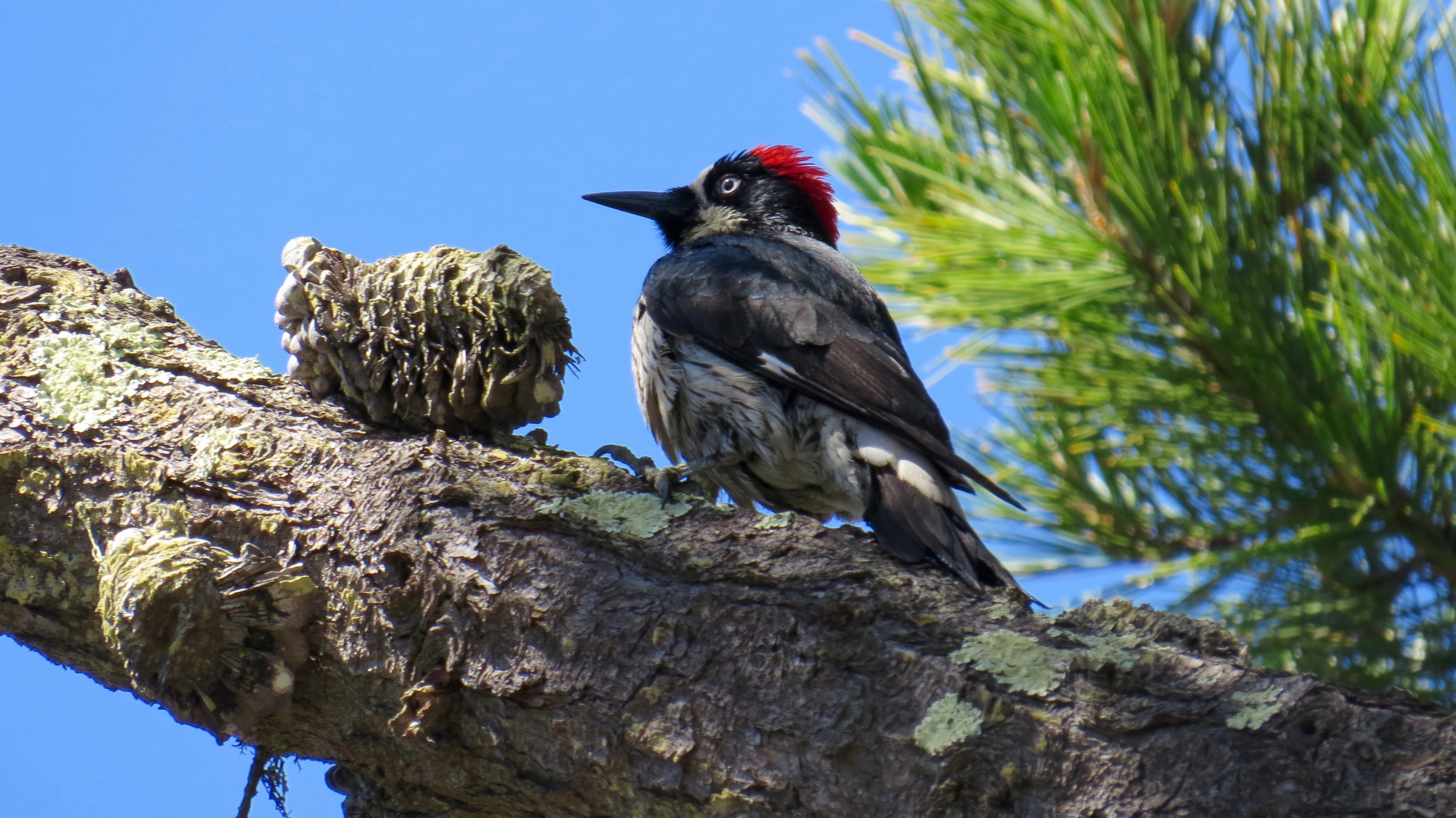 I will miss these crazy noisy clowns called Acorn Woodpeckers who live nearby.  If you ever spot a tall pole or tree riddled with hundreds of holes, each containing an acorn—it's an amazing Woodpecker granary tree. Stop and take a look.