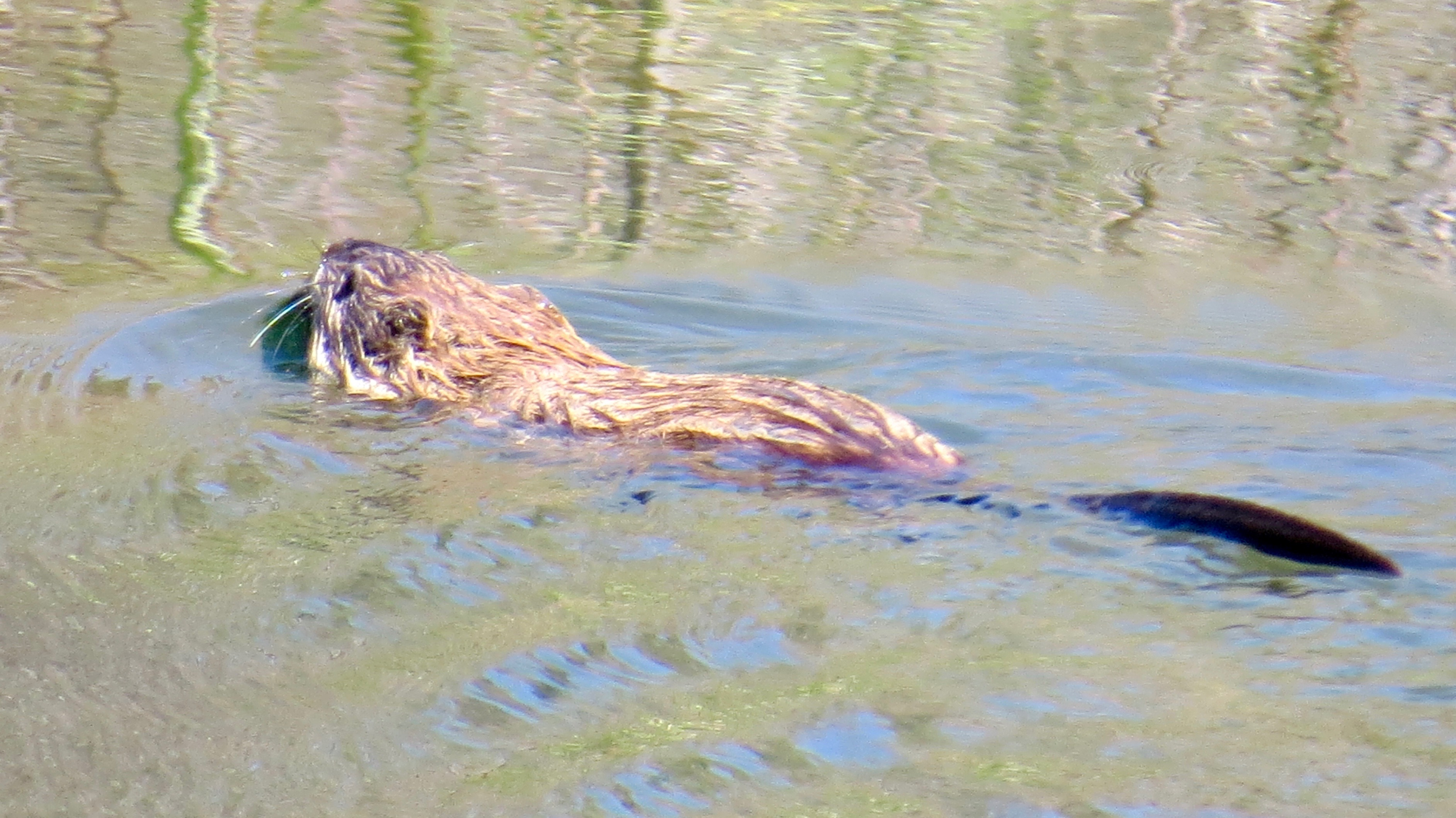 An American Beaver, busy, heading for his home  in the Roaring  Fork River.