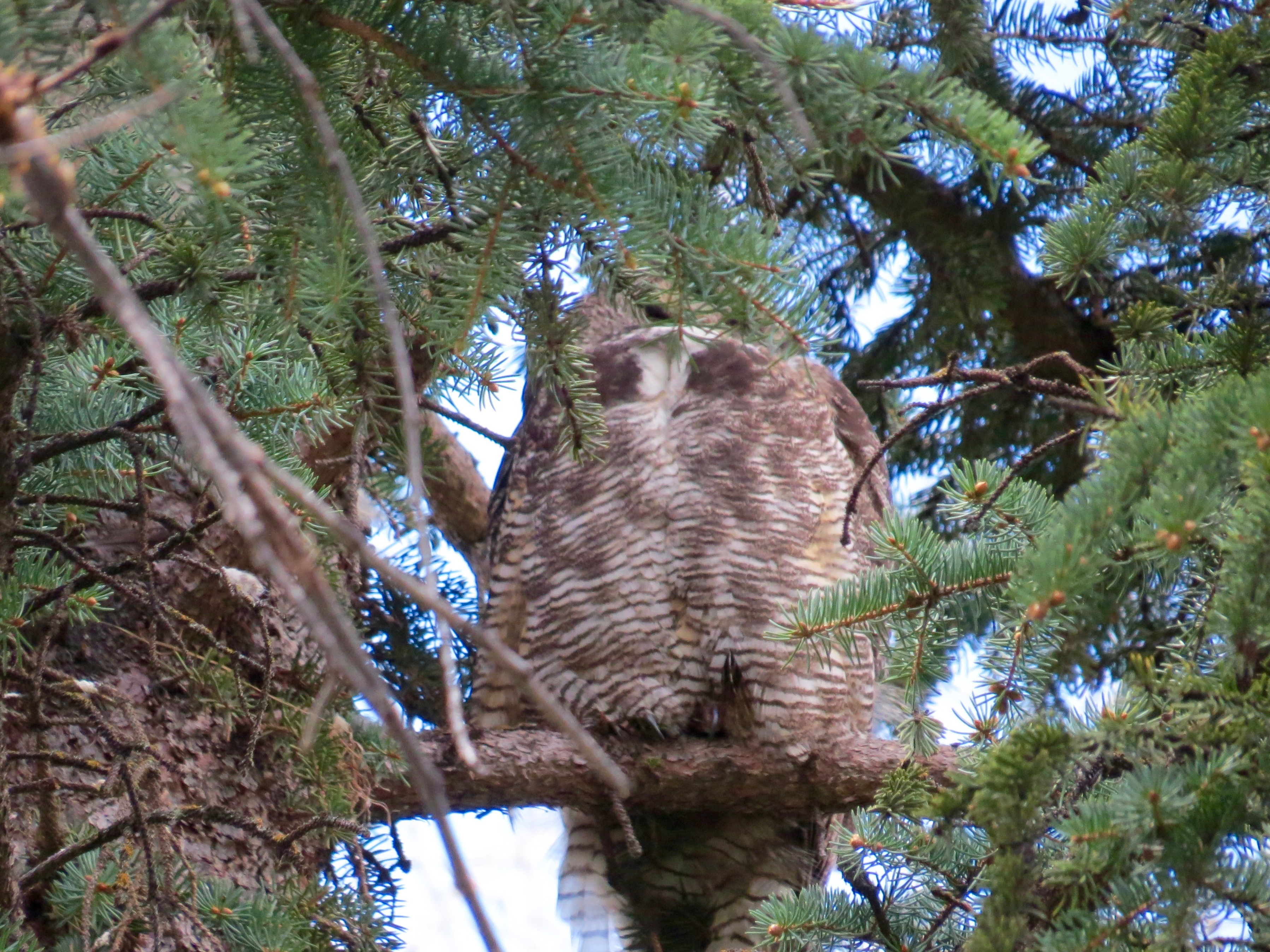 """When I took this photo, I hoped to get a shot of Mama Owl """"at rest."""" She's sleeping. What I didn't realize is that the  male owl is behind her,  guarding her and the baby in the nest to the left."""