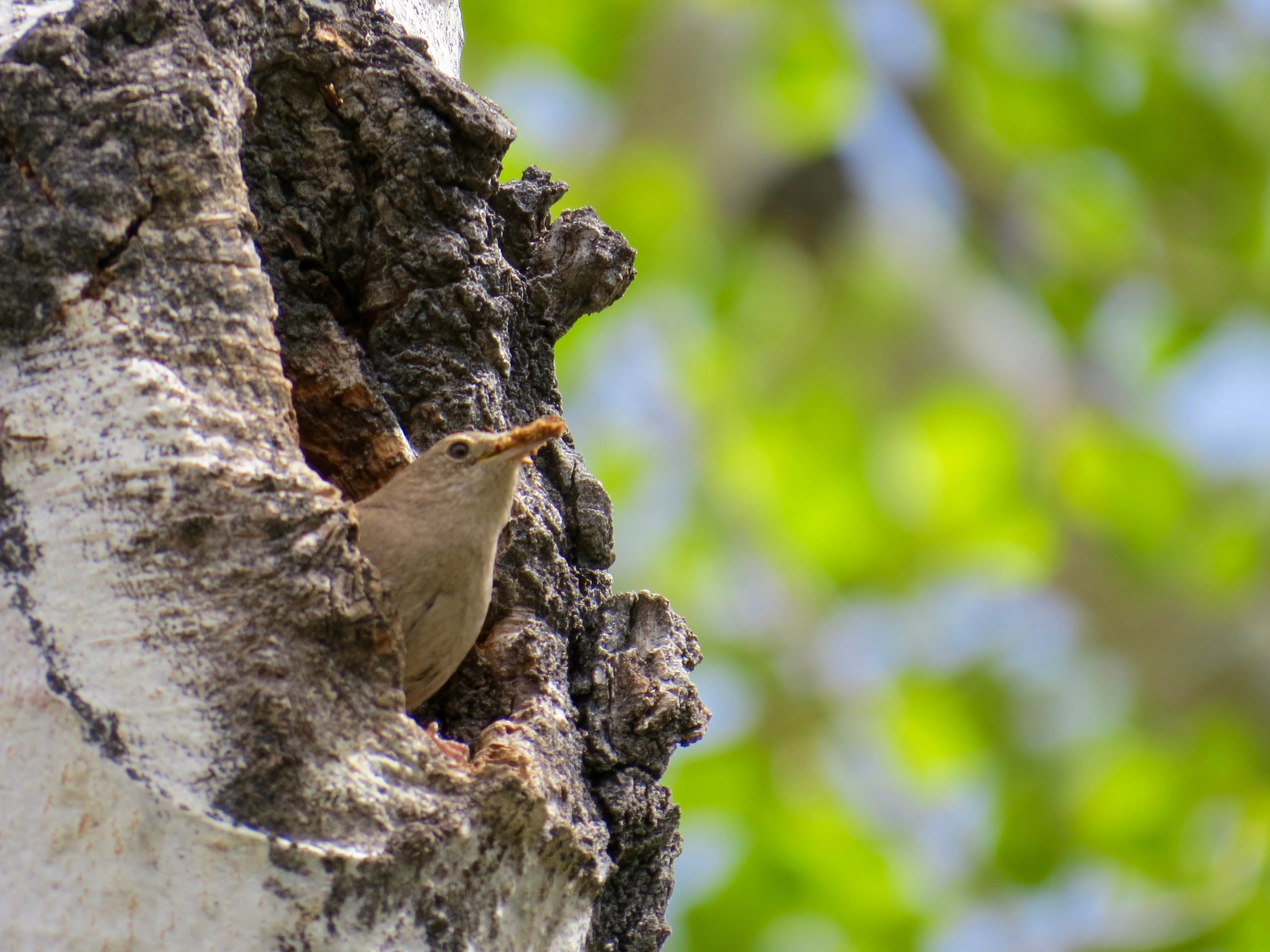 DESPITE HUNDREDS OF HIKERS/BIKERS ON SMUGGLER MOUNTAIN, THIS TINY WREN IS BUSY BUILDING A HOME.