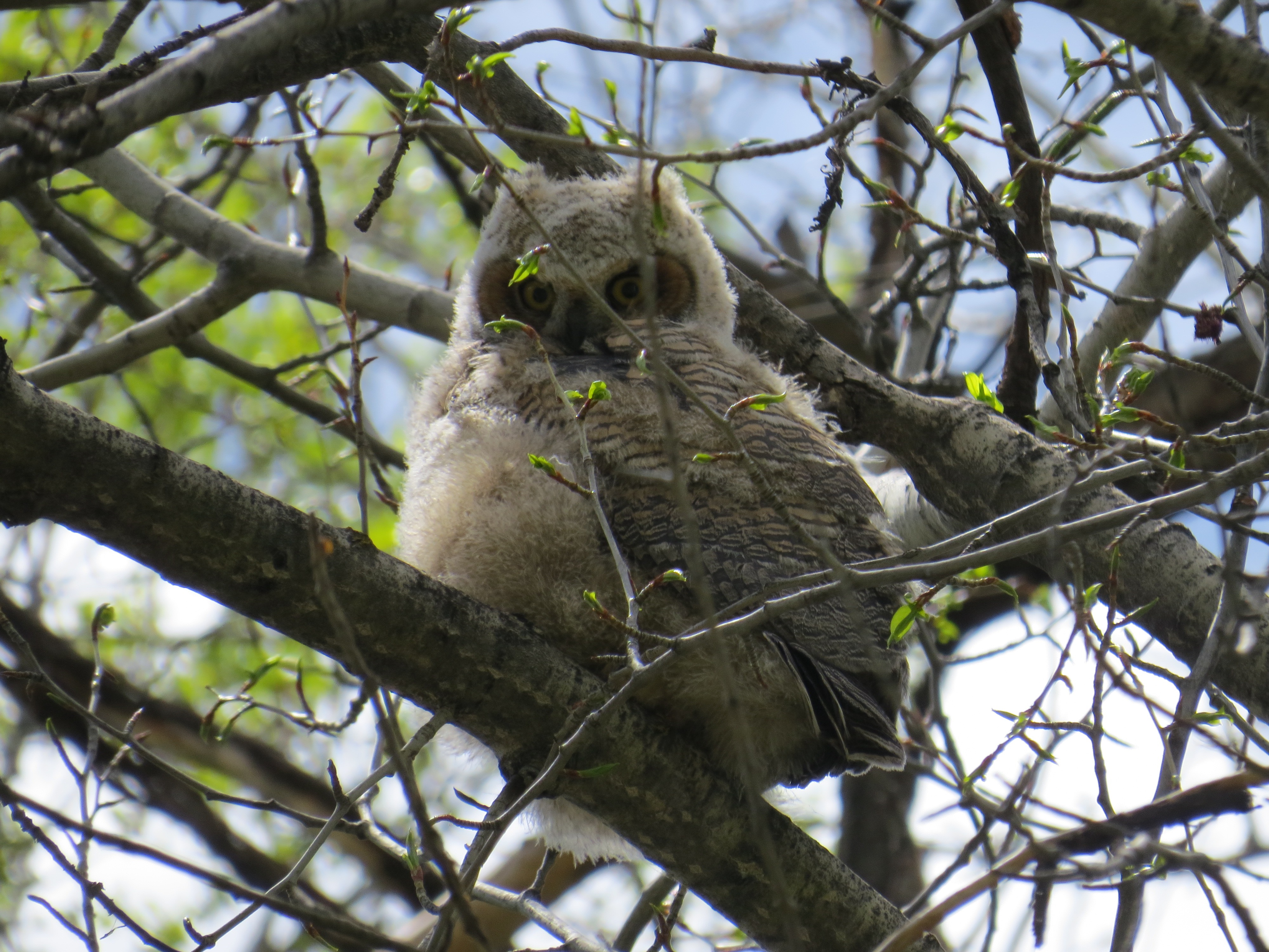 THE GREAT HORNED OWLET IS GROWING AND CAN EVEN FLY. MOM AND DAD ARE INTO TOUGH LOVE AND ARE SLOWLY WEANING  THE BABY AWAY FROM THEM.