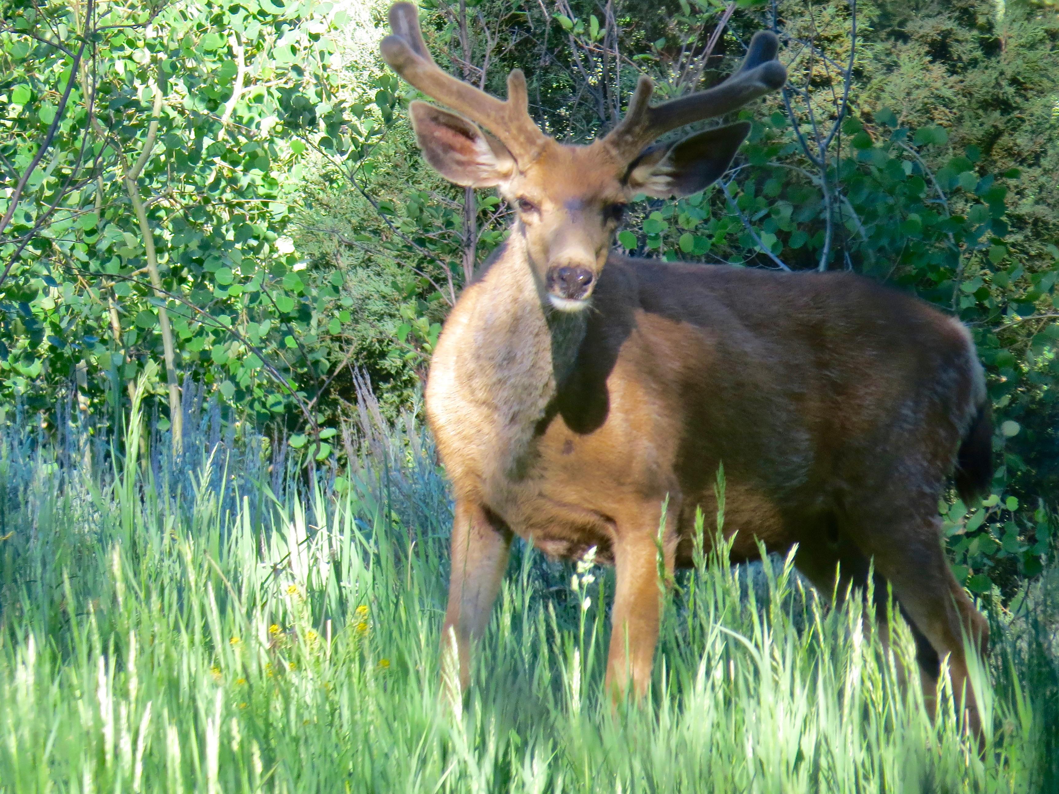 Mule Deer in Velvet  Northstar Preserve, 2016