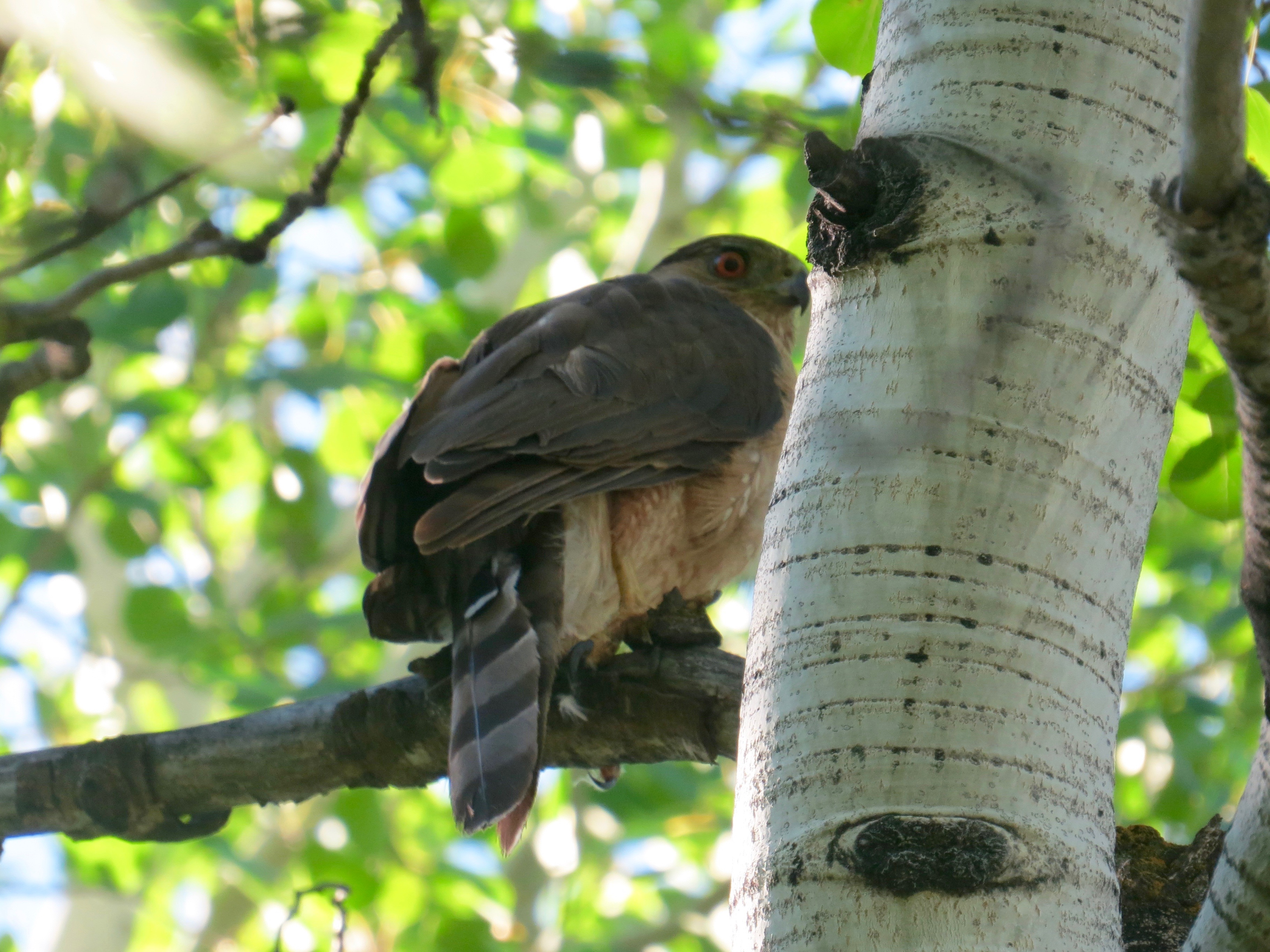 This adult Cooper's Hawk, maybe Dad, maybe Mom (cannot tell) is waiting for me to leave. Not happy I am near the babies , I only stayed 5 minutes.