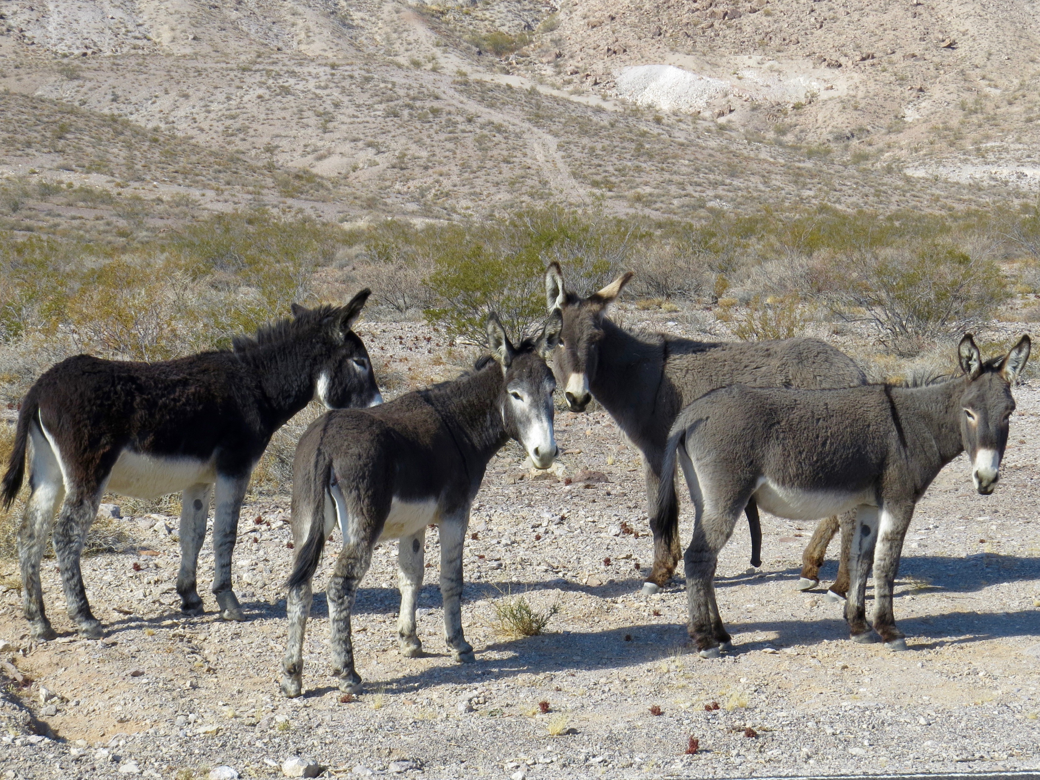 To get to Bishop I needed to drive through Death Valley. In the many years I've been in DVNP, I've never seen feral burros. These animals are descendants of those left behind by prospectors. They are quite handsome, don't you think?