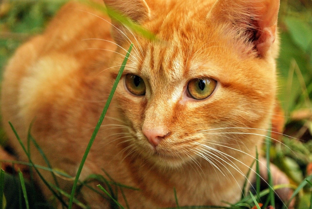 orange cat in grass