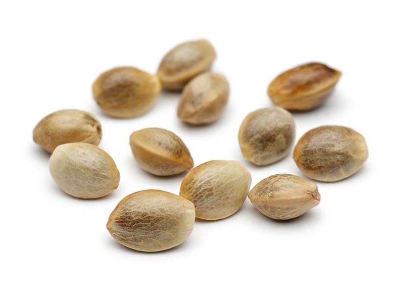 CBD seeds bulk