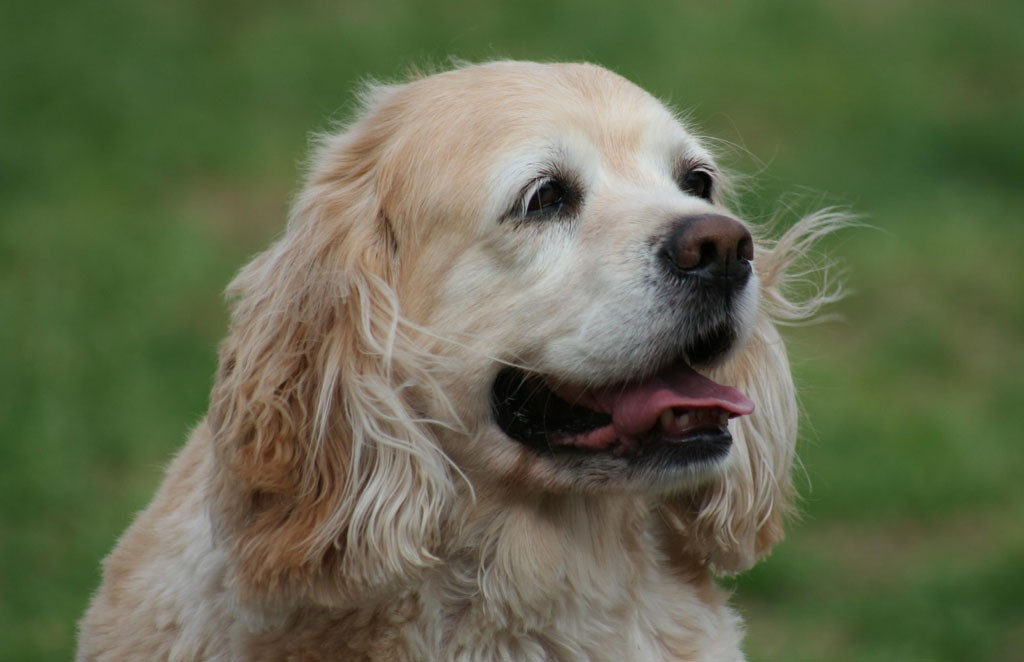 Healthy Cocker Spaniel for your new pet. kids and pets, choosing a pet, what kids learn from pets, parenting, 3 tips for training dogs, training animals, cocker spaniels for a family pet, loyal dog, kind dog,