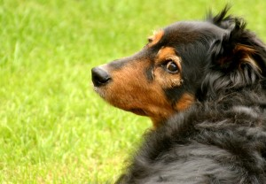 I miss my dog. pet ownership, health benefits of pets, dogs and owners, cats and owners, why you should have a dog, dogs are man's best friend, what kind of dog should I get?  Cocker Spaniels, German long hair dogs, Icelandic Shepherd dogs, excercise with dogs,. dogs as pets