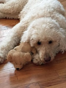"""My poodle with favorite toy, death of a pet, sad about death of pet, what to say to grieving pet owners, funeral poem, when a pet dies, Judy Helm Wright, """"Pet Grief Coach"""""""