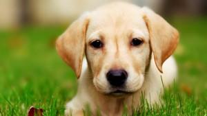 puppy (affiliate)