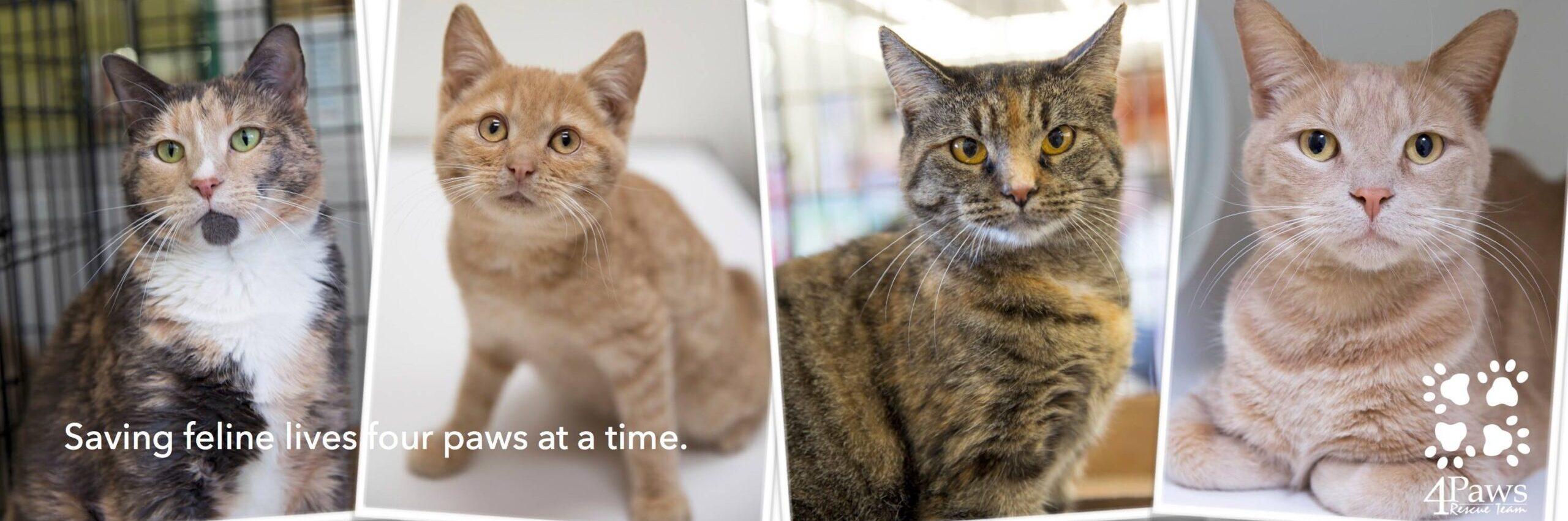 adoptable kittens at fairfax petco