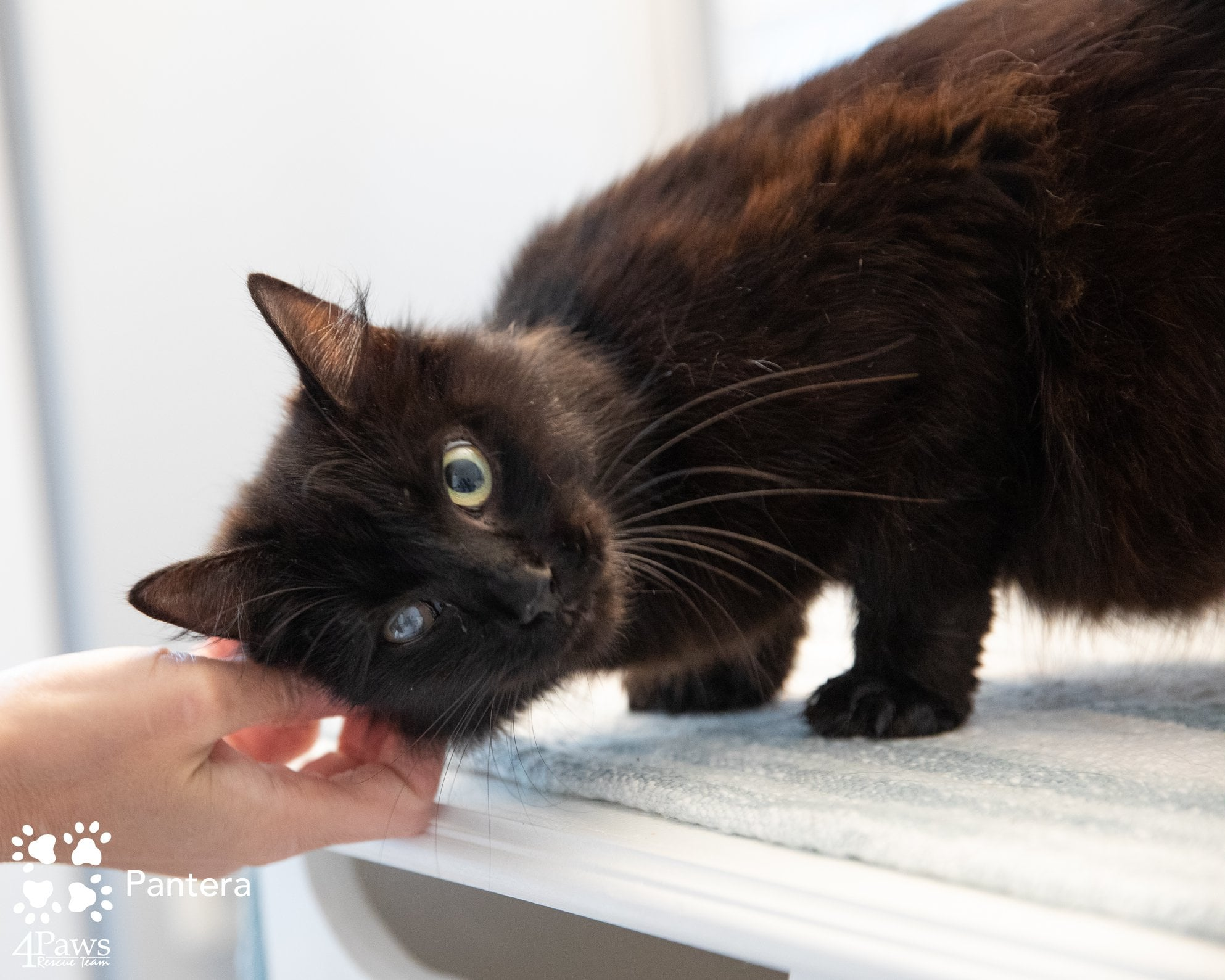 black cat for fostering