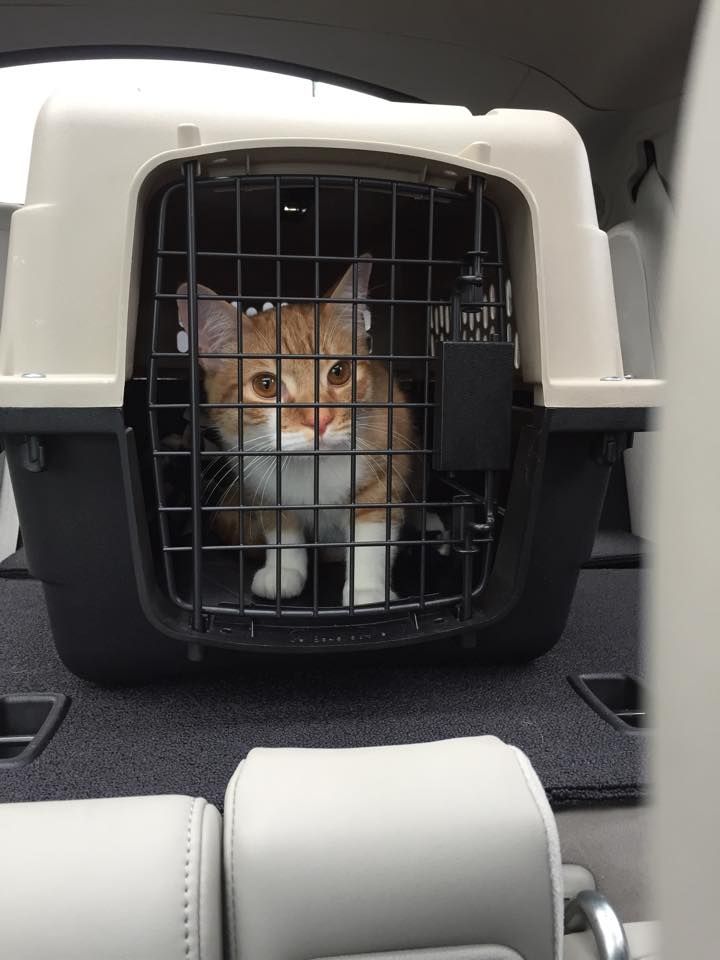 cat in carrier for transport