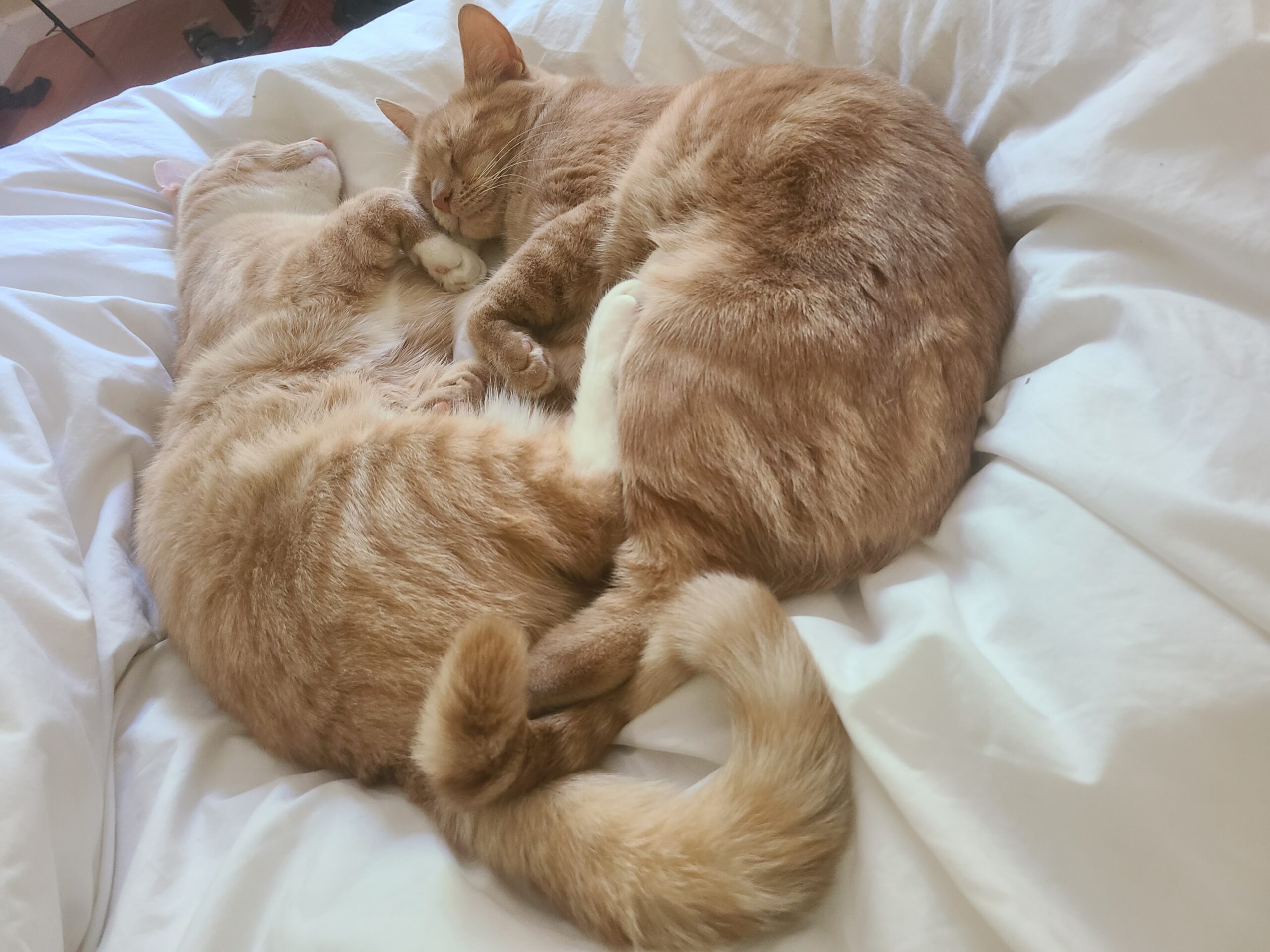 two cats cuddling