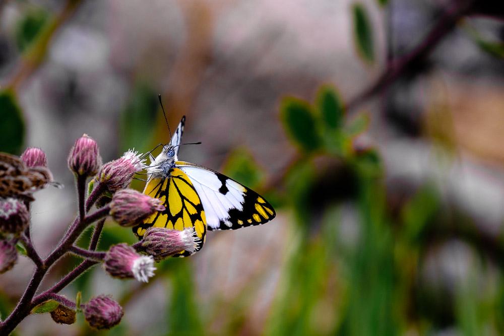 A Butterfly Up Close - A Colotis Vesta butterfly captured at Langano near Bishangari Lodge