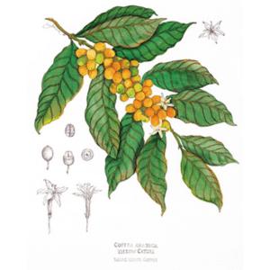 Coffee Catuai Print