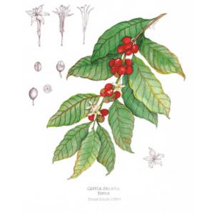 Coffee Arabica Print