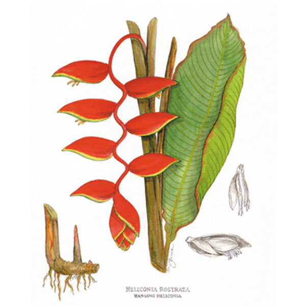 Hanging-Heliconia Print