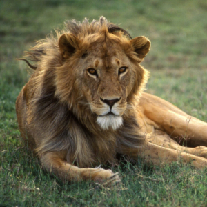 A male African lion rests on the Serengeti plains of Tanzania. This is the lead shot of my African Wildlife gallery with images of elephant, rhino, cheetah, zebra, giraffe, cape buffalo, ostrich, kudu, wildebeest, waterbuck, sable antelope and the great migration.