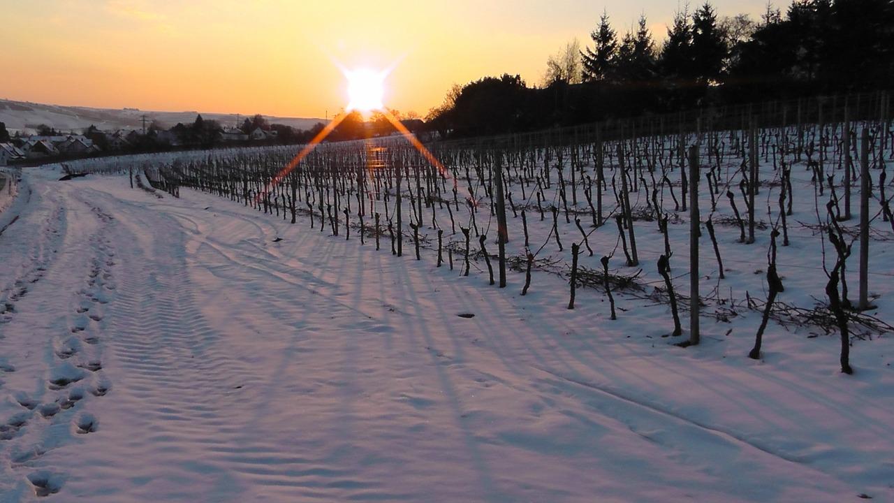 winter, vineyard in winter, vineyard