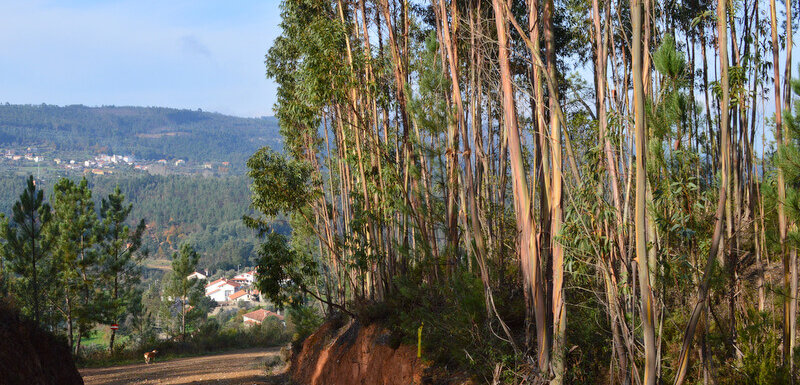 eucalyptus forests in Portugal