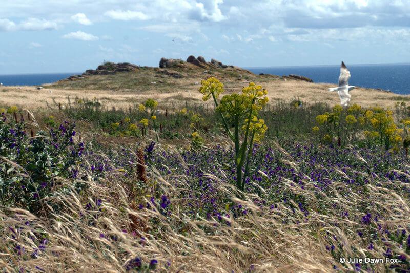 Seagulls and flowers, Berlenga island