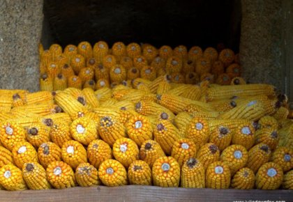 Stacked corn cobs. Montaria, Serra d'Arga, Portugal. Photography by Julie Dawn Fox