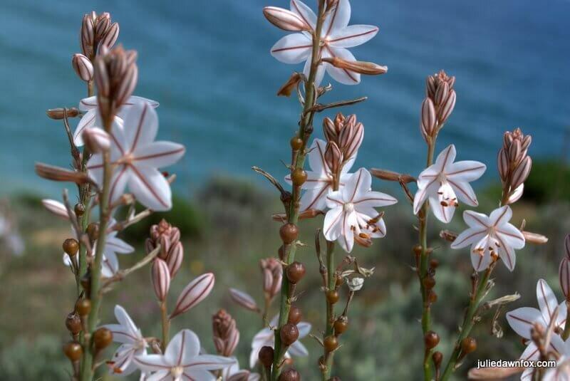 White flowers, Boca Do Rio, Algarve, Portugal.