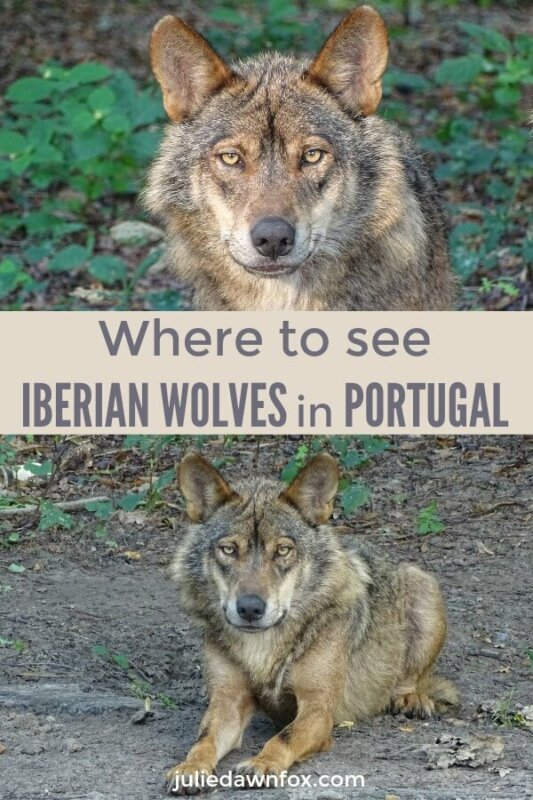 Where to see Iberian wolves in Portugal