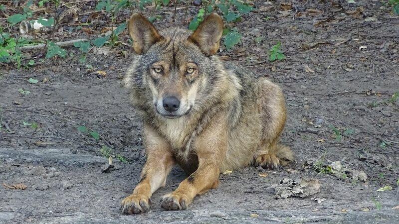 Iberian wolf lying down