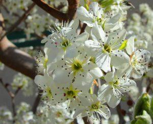 Fruit Tree Care by Bailey Tree LLC