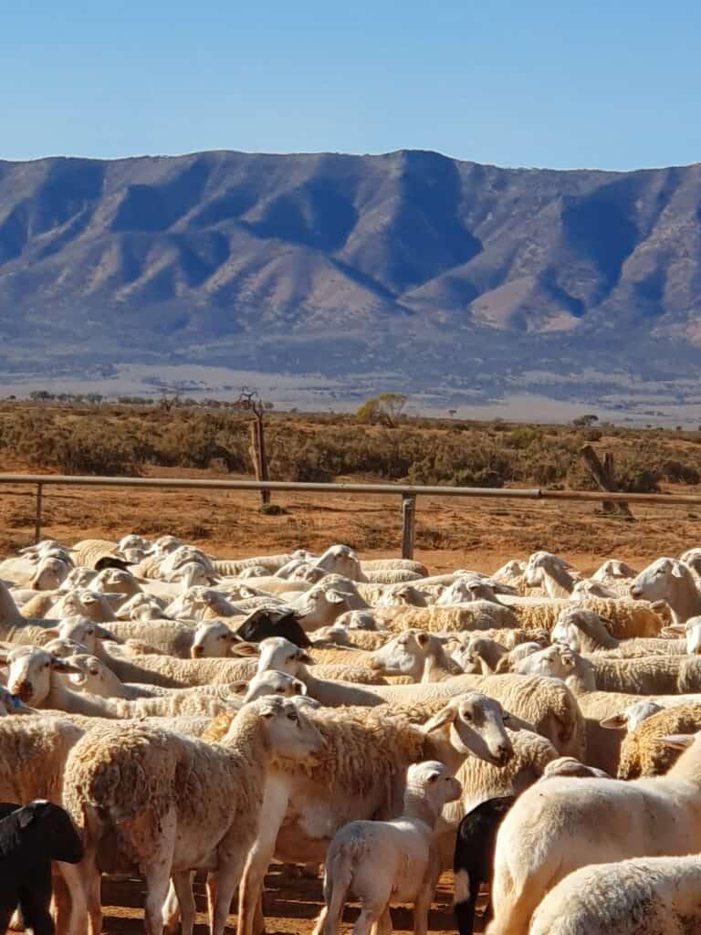 Sheep at Yadlamalka Station (Image Credit: Tom Doman)
