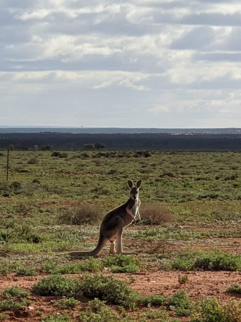 Kangaroo at Yadlamalka Station (Image Credit: Tom Doman)