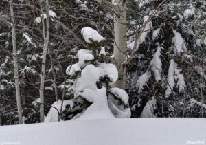 aspen and pine trees in snow colorado winter