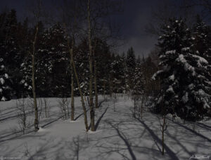 aspen and pine trees in snow in moonlight in colorado